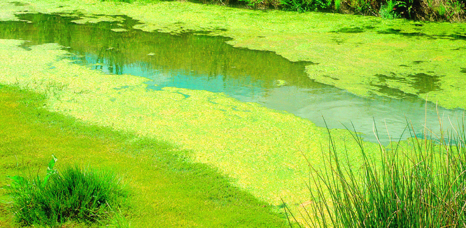 Blue-green algae  in Australian waterways